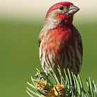 Finch on Pine  by lorilee