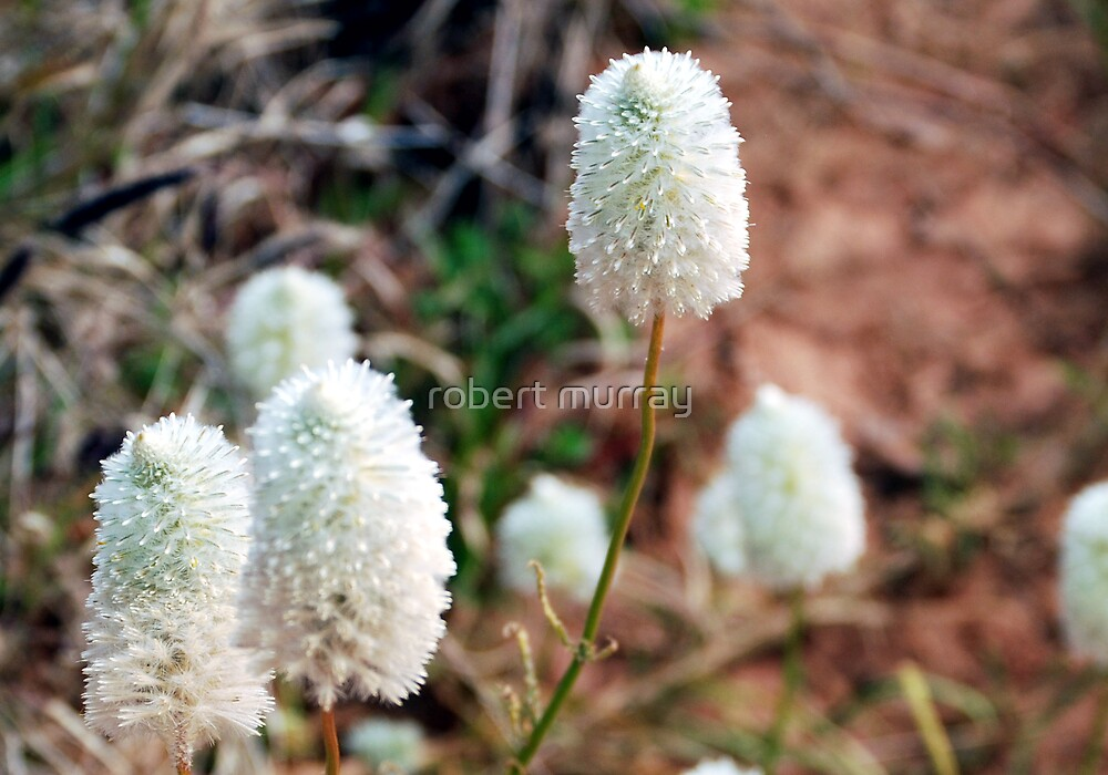 White Pompoms ..native flower series by robert murray
