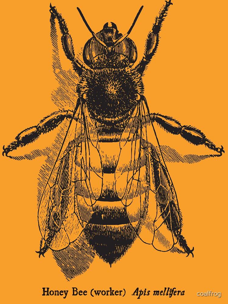 Honey Bee -  Vintage Scientific Illustration by coalfrog