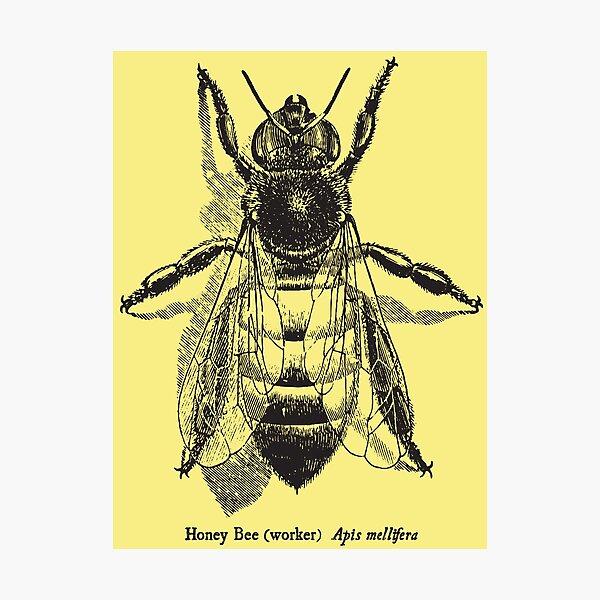 Honey Bee -  Vintage Scientific Illustration Photographic Print