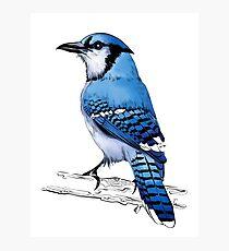 Blue Jay Bird Draw Photographic Print