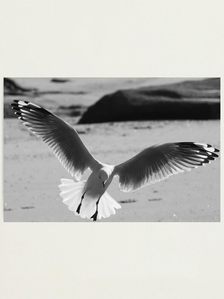 Alternate view of Seagull landing Photographic Print