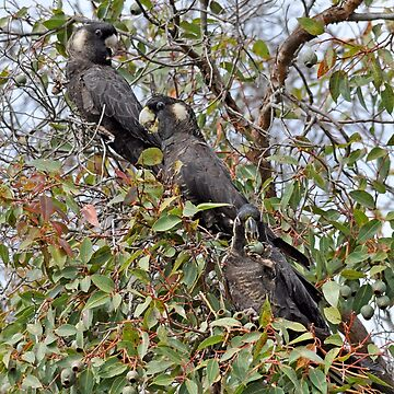 Trio of Black Cockatoos with White Tails by cozmist