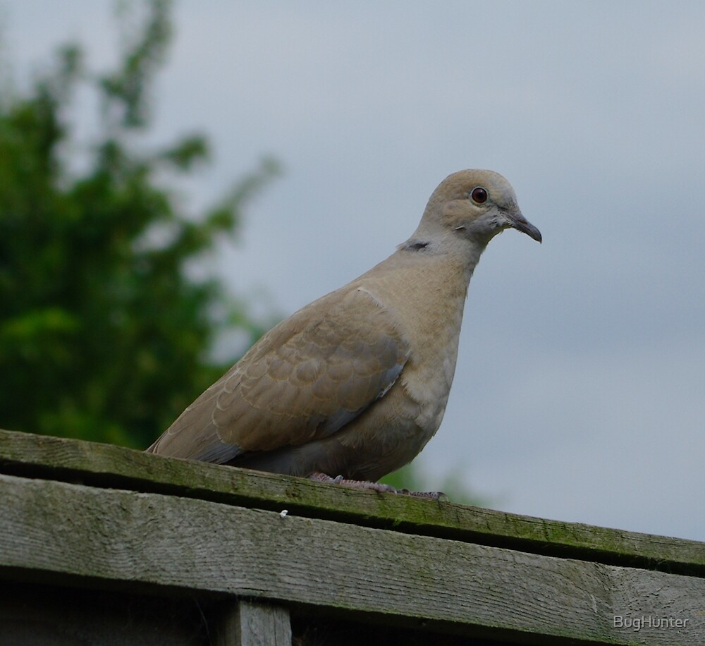 Dove closer by BugHunter