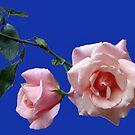 Hohe Hoffnungen - zwei Pfirsich farbige Rosen von BlueMoonRose