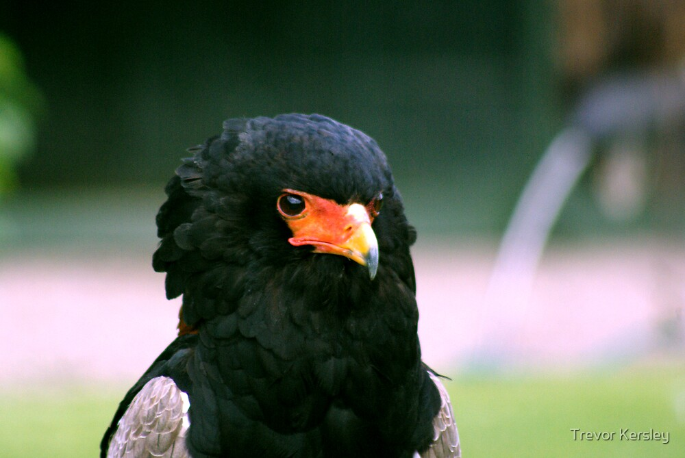 Bateleur Eagle #2 by Trevor Kersley