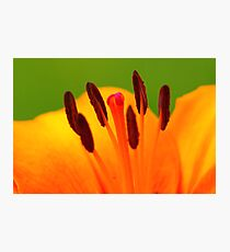Stamen of the Lily Photographic Print