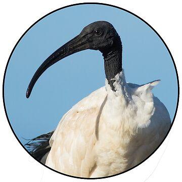 Australian White Ibis by daniel-venema