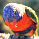 Rainbow Lorikeet by cs-cookie