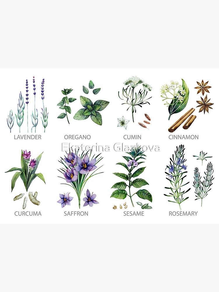 Watercolor botanical collection of herbs and spices by Glazkova