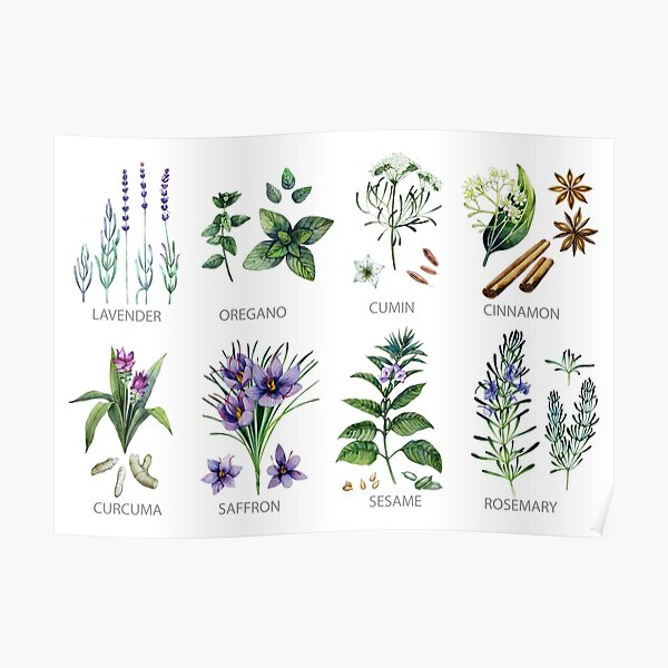 Watercolor botanical collection of herbs and spices Poster