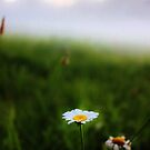 Daisy in the Mist by JoAnn GLENNIE