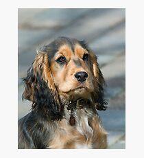 English Show Cocker Spaniel Puppy Photographic Print