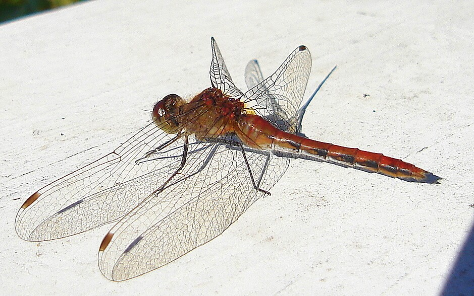 Dragonfly by Doreen