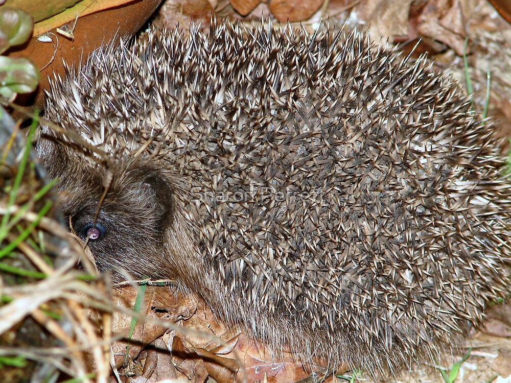 A prickly visitor by Sharon Perrett