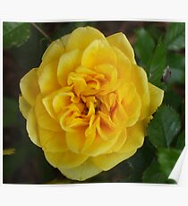 Yellow Banksia Rose Poster