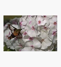 Hummingbird Moth ** Photographic Print