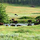 Buffalo by Patrick Czaplewski