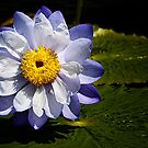 Water Lily, White, Blue and Gold by cclaude