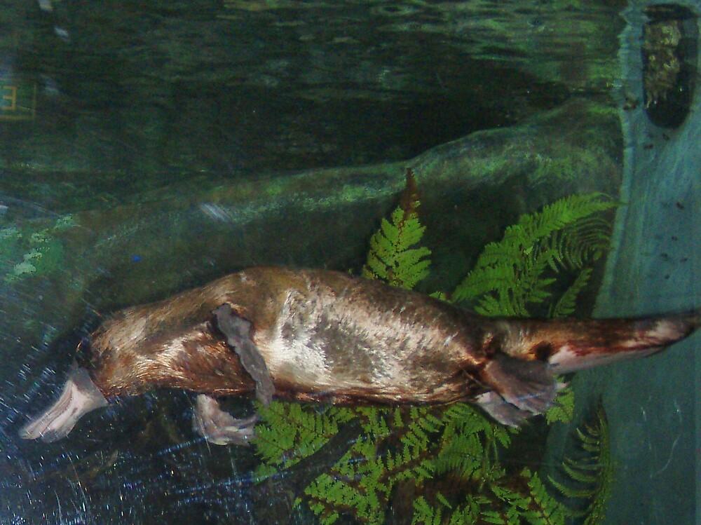 platypus by gaylene