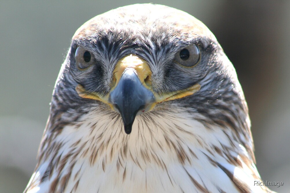 The Face of a Ferruginous Hawk by RichImage