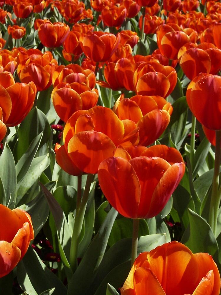 Tulipa by Robert Jenner
