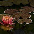 Seerose beleuchtet dunklen Teich von Celeste Mookherjee