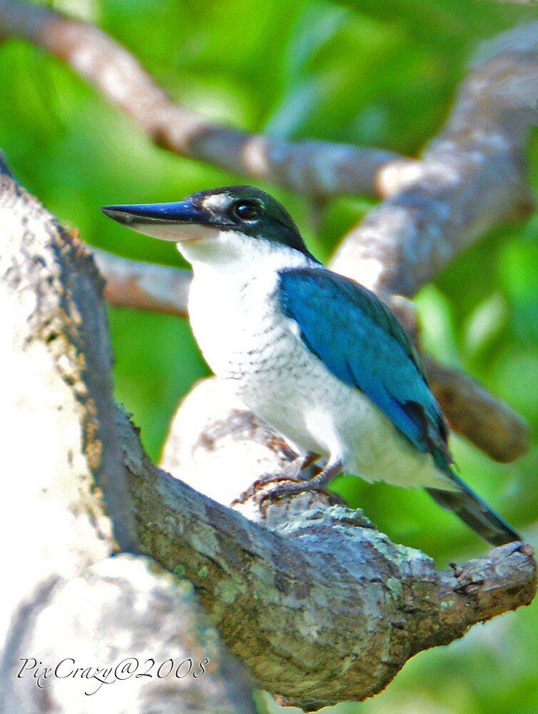 White Collared Kingfisher by PixCrazy