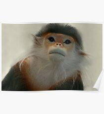 Critically Endangered Doucs Langur Poster