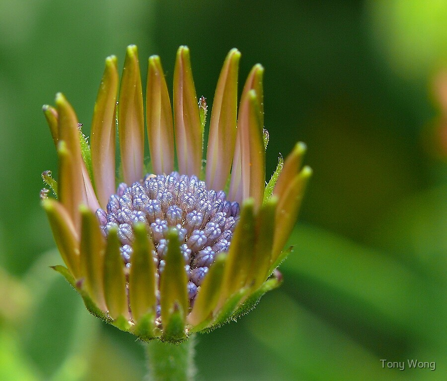 Pearls in the palm by Tony Wong