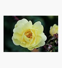 Spring Roses #2 Photographic Print