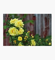 Spring Roses #3 Photographic Print