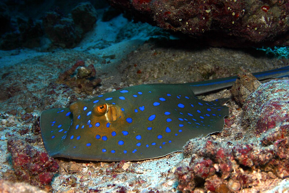 Blue Spotted Stingray by Anders Hollenbo