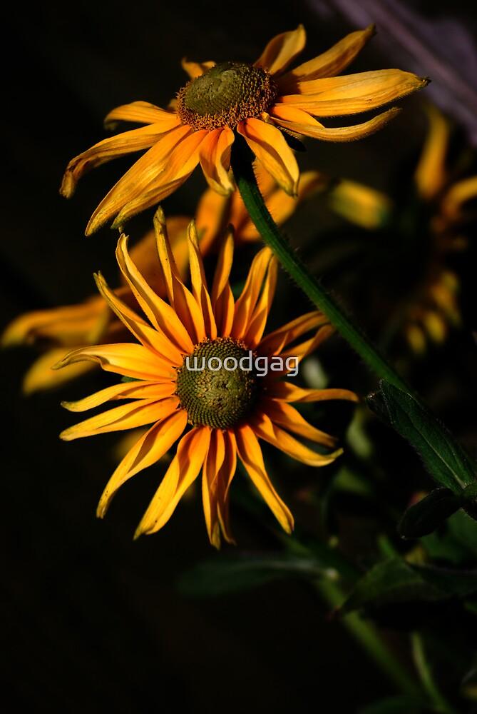 Miniature Sunflowers by woodgag