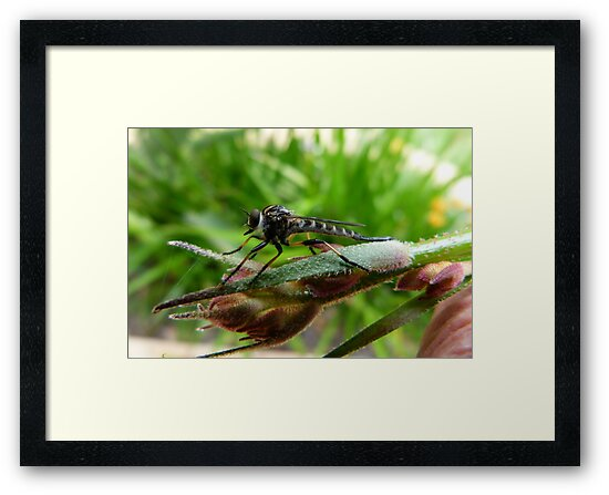 Robber Fly by Trish Meyer