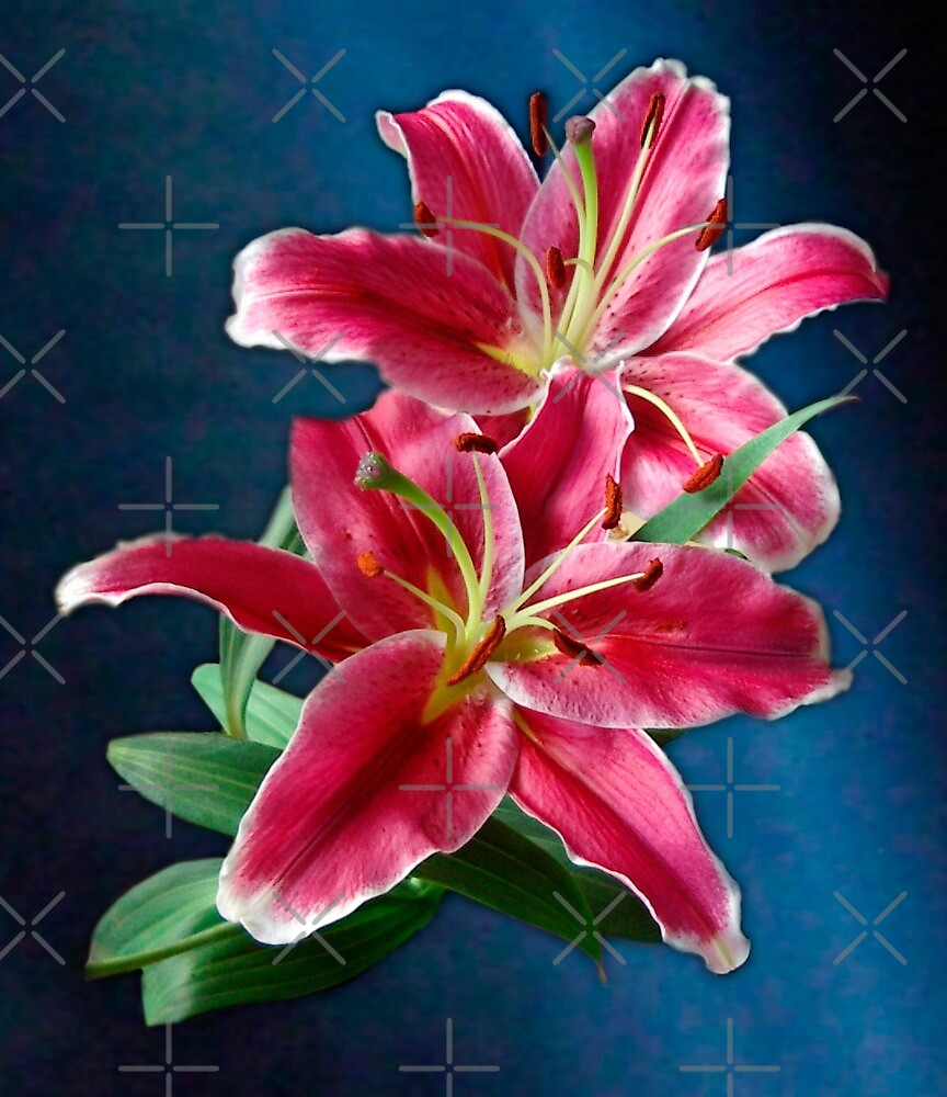 Bright Pink Lilies by haymelter