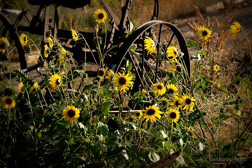 Sunflowers & Tractor by GesturesPhoto