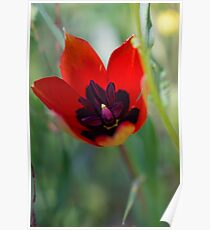 Wild mountain Tulip (Tulipa agenensis). Photographed in Israel in March Poster