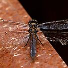 Dragonfly by Lisa Putman