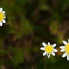 Little, Bitty Daisies by metriognome
