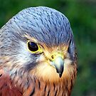 Kestrel by Clive