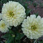 White zinnia by Ana Belaj