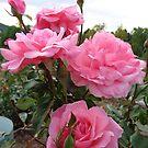 Lavish pink roses by Ana Belaj