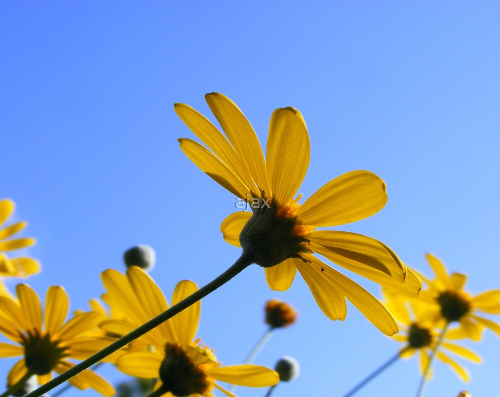 yellow daisies by ajax