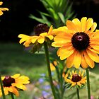 Black Eyed Susan's by Timothy Gass