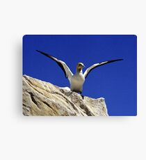 Cape Gannet - South Africa Canvas Print