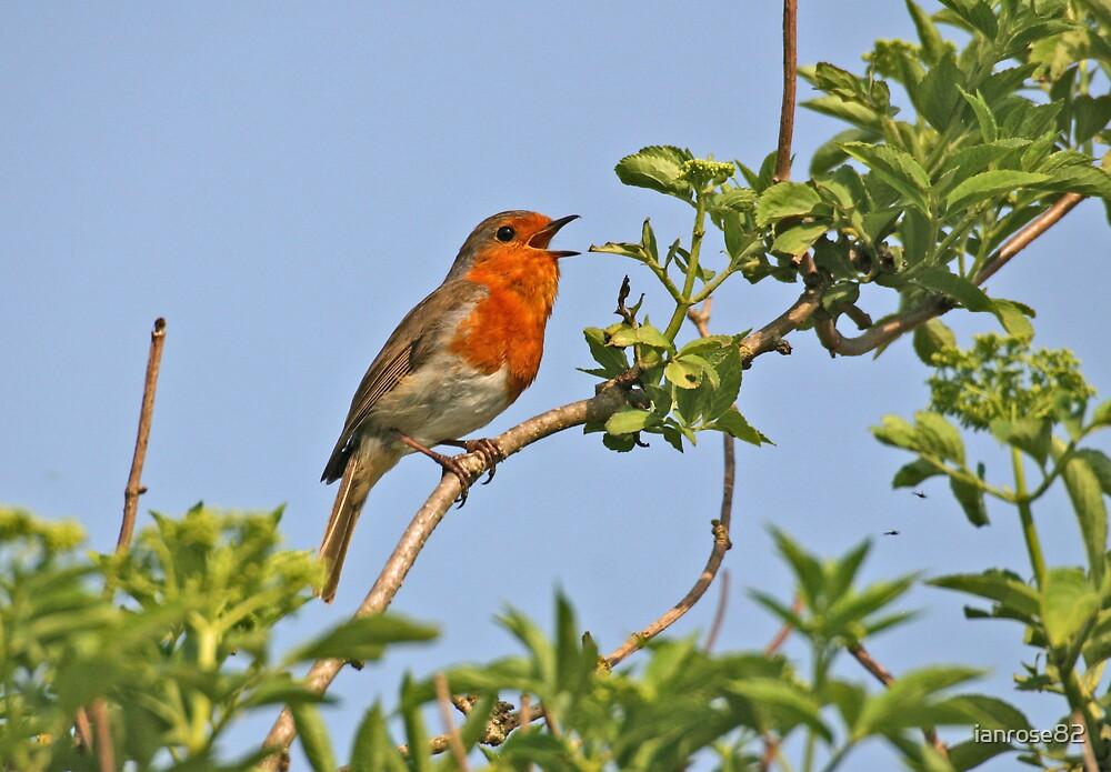 Singing Robin by ianrose82