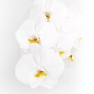 White orchids by Amanda Bussio