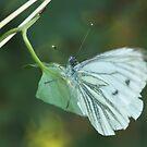 Green Veined White Butterfly by kernuak
