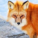 Red Fox by Jerry Walter
